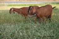raças de caprinos