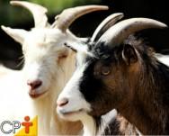 Caprinos - conheça as principais raças e faça a melhor escolha