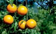 Aprenda Fácil Editora: Como iniciar um pomar comercial de laranjeira?