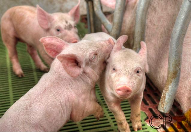 Criação de suíno light - conheça suas vantagens de produção e ganhe mais   Artigos Cursos CPT