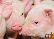 Criação de suíno light - conheça suas vantagens de produção e ganhe mais