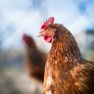 Galinha caipira - aprenda a escolher a melhor ave para o consumo