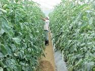 Pimentão orgânico - dicas sobre o melhor manejo para evitar doenças e pragas