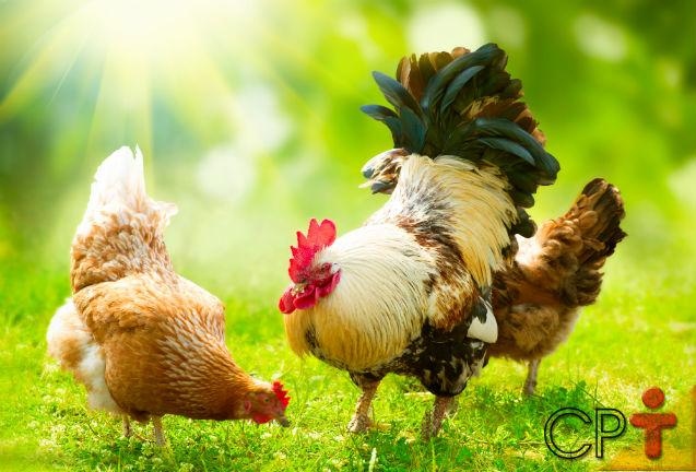 Dicas de sucesso para a criação de frangos e galinhas caipiras: sistema de criação   Artigos Cursos CPT