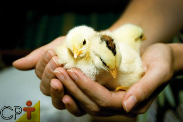 Dicas de sucesso para a criação de frangos e galinhas caipiras: pintinhos   Artigos Cursos CPT