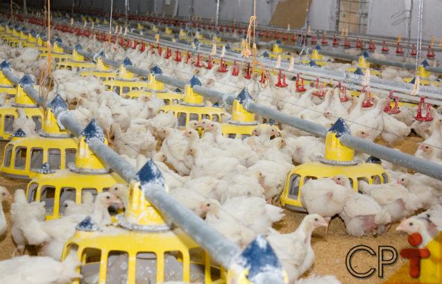 Dicas de sucesso para a criação de frangos e galinhas caipiras: vazio sanitário   Artigos Cursos CPT