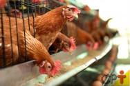 Frangos e galinhas caipiras - dicas de manejo para o sucesso do empreendimento