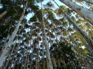 Eucalipto - florestas plantadas contribuem para o aumento da produção mundial de madeira