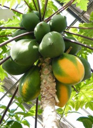 O mamoeiro produz frutos de excelente qualidade em lugares de grande insolação