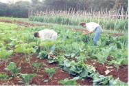 Existem algumas hortaliças que são produzidas satisfatoriamente durante o ano todo, como a couve e a alface