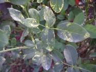 O mosaico da roseira é uma doença caracterizada pelo aparecimento de manchas amarelas, em forma de zigue-zague, na superfície das folhas. Foto: reprodução