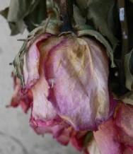 Cultivo de rosas: doenças da roseira e o seu controle