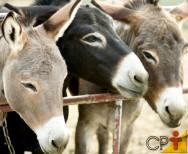 Muares - animais de carga resistentes, inteligentes, de fácil manejo e vida longa