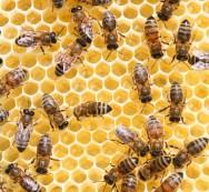 A acariose paralisa as asas ou músculos de voos da abelha.