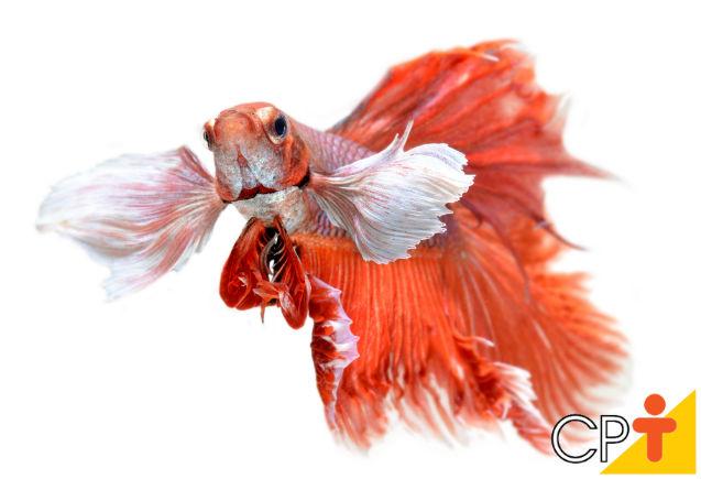 Peixe Betta: constipação intestinal   Artigos Cursos CPT