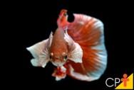 Peixe Betta - criação em cativeiro, alimentação, reprodução e principais doenças