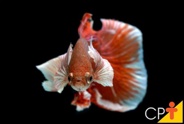 Como criar peixe Betta em cativeiro   Artigos Cursos CPT