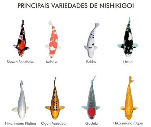 Variedades de carpas coloridas (nishikigoi)