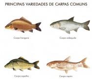Carpas comuns e carpas coloridas (Nishikigois)
