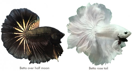 Betta over halfmoon e Betta rose tail