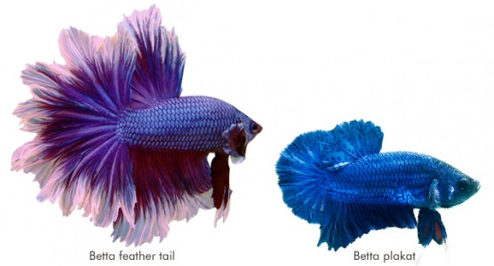 Betta feather tail e Betta plakat