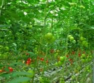 Tomate hidropônico - aprenda a preparar a solução nutritiva