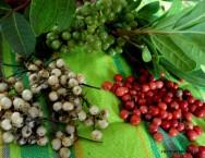 Pimenta-do-reino - propagação, substrato, escolha das matrizes e manutenção do viveiro