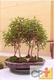 Bonsai - conheça as variedades de estilo, ferramentas utilizadas e espécies vegetais