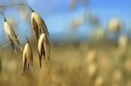 Esses cultivares também protegem o solo contra as chuvas, evitando erosões e assoreamento de rios e córregos.