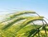 Pastagens na entressafra alimentam o gado e nutrem o solo
