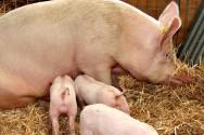 Aprenda Fácil Editora: Como criar suínos?