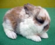 Os mini coelhos não têm o costume de tomar banhos, lavando-se sozinhos. Foto: Reprodução