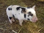 Os mini porcos são inteligentes e sociáveis. Foto: Reprodução