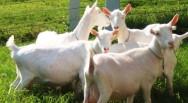 Aprenda Fácil Editora: Criação de cabras