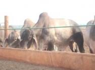 Os novilhos ou bois castrados são os bovinos mais comuns nos confinamentos por apresentarem comportamento dócil, musculatura nobre e melhor classificação de carcaças.