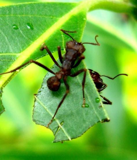 Formigas Cortadeiras E Lagartas Dos Cafeeiros