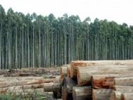 Aprenda Fácil Editora: O eucalipto é a a espécie florestal escolhida para substituir a extração de mata nativa