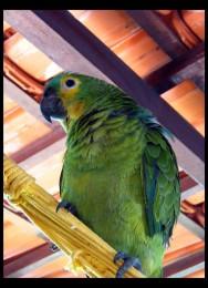 Criação de papagaios, araras e maritacas - manejo reprodutivo, incubação e criação comercial