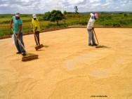 milho-colheita