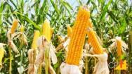 Milho - métodos de colheita e secagem