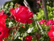Aprenda Fácil Editora: Cultivo de roseiras