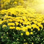 O crisântemo pode ser cultivado ao ar livre, entretanto, em plantios comerciais, o cultivo é feito em estufas