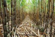Cana-de-açúcar - controle das principais doenças que atacam o canavial