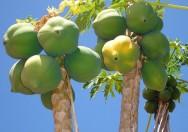 Aprenda Fácil Editora: Adubação e tratos culturais do mamão Papaia