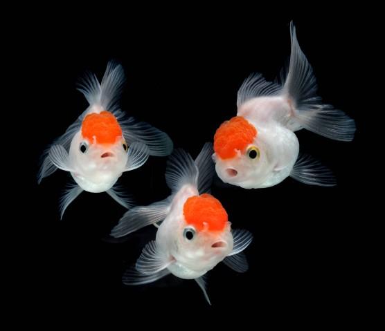 Kinguio alimenta o reprodu o e variedades cursos a for Como criar peces koi