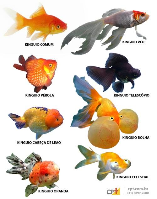 Kinguos nas variedades comum, cometa, telescópio, oranda, pérola, cabeça de leão, bolha e celestial.