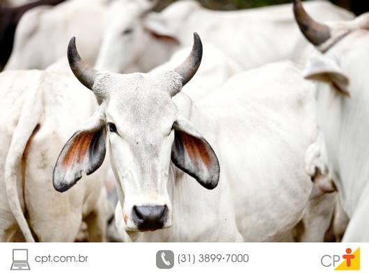 Ao se pesar o gado, o rendimento da carcaça depende da condição corporal, da cobertura de gordura, do sexo, das raças