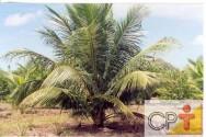 Cultivo de coqueiro anão e os tratos culturais