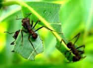 Aprenda Fácil Editora: Combata as Formigas Cortadeiras