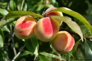 Pêssego - classificações, exigências, características e principais cultivares